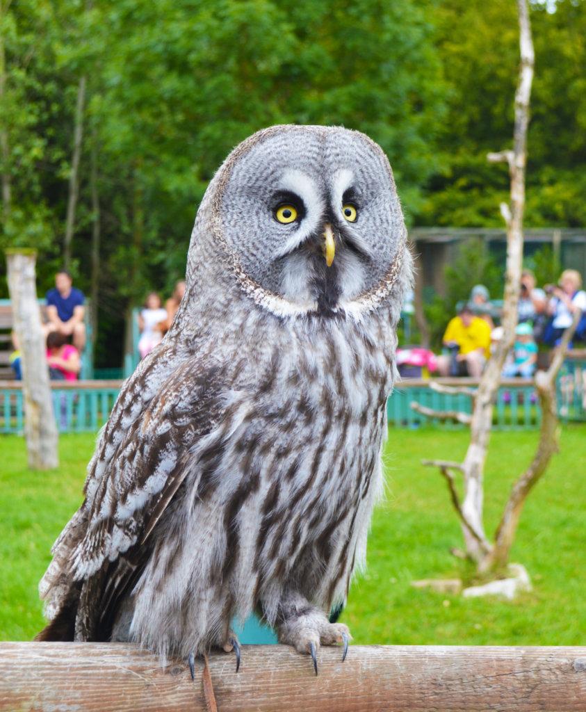 Great Grey Owl - Paradise Wildlife Park